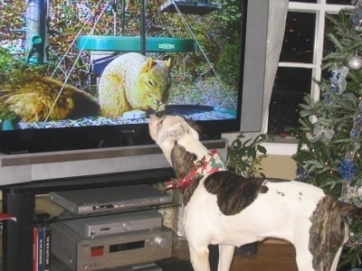 Rose the American Bulldog with a bandana on it looking at a squirrel on tv