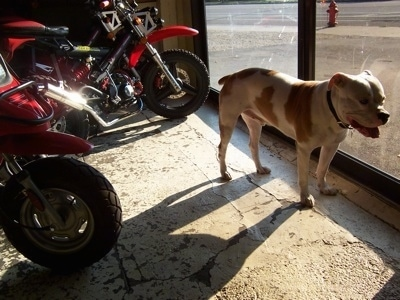 Riley the American Bulldog standing in front of a sliding door with a couple motorcycles in the background