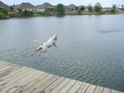 Zeus the American Bulldog jumping off a dock into a river