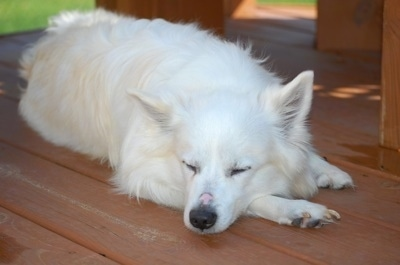 American Eskimo Dog Breed Pictures 1