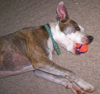 The right side of a blue brindle Pitbull Terrier that is laying down on a carpeted floor with an orange toy ball in its mouth