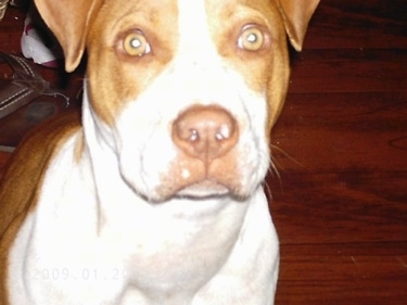 Close Up - A brown with white Pitbull Terrier is standing on a hardwood floor. There is a sandal on the floor behind it.