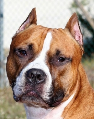 Close Up - A red and white Staffordshire Terrier is looking forward and its head is slightly tilted to the right.