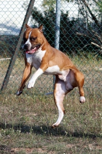 The left side of a red with white Staffordshire Terrier is jumping in the air and there is a chainlink fence behind it.