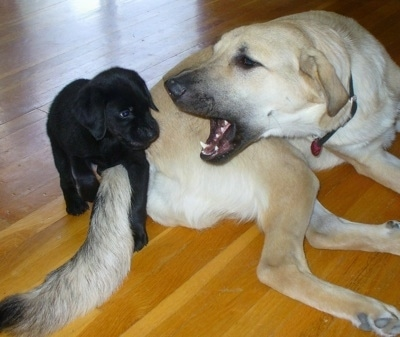 The right side of a tan Anatolian Pyrenees that is playing around with a black lab puppy.