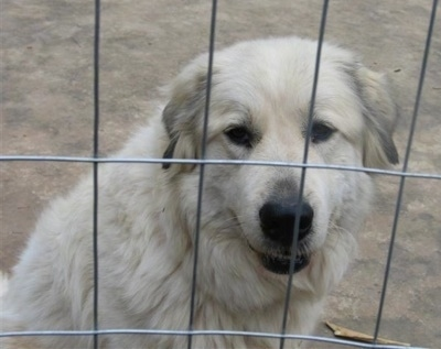 Close up - The right side of a white Anatolian Pyrenees that is sitting behind a fence