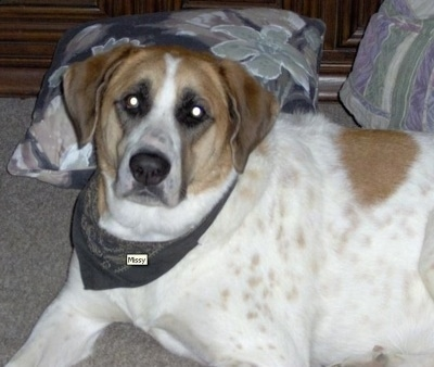 Close Up - The left side of a tri-color Anatolian Shepherd that is wearing a bandana with the name 'Missy' on it. It is laying down in front of pillows.
