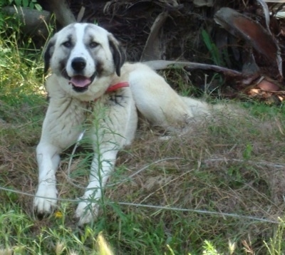 A tri-color Anatolian Shepherd is laying in brush grass with its mouth open, its tongue out and it is looking forward.