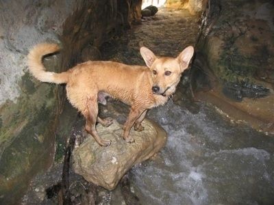 A wet tan Andalusian Podenco is standing on top of a rock inside of a cavern with water running through it.