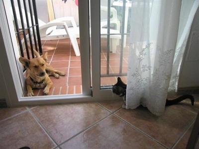 A tan Andalusian Podenco dog is laying outside on a brick porch in the doorway of an open door. There is a black and white cat standing behind the door curtains looking at the dog.