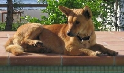 Side view - A tan Andalusian Podenco dog is laying on a brick pool deck looking to the left.