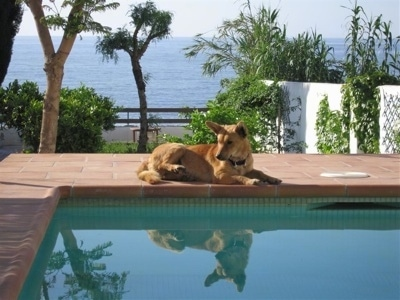A tan Andalusian Podenco dog is laying by the side of a pool on a brick pool deck. It is looking to the left and there is a large body of water in the background.