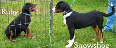 The sides of two Appenzell Mountain puppies that are faceing each other. One is sitting behind a fence with the name 'Ruby' behind it and the other is standing outside the fence with the name 'Snowshoe' under it.
