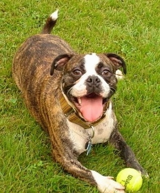 A brown brindle with white Miniature Australian Bulldog is laying in grass with a tennis ball between its front paws.