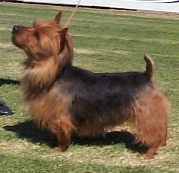 The left side of a brown and black Australian Terrier that is standing across a field and it is looking up.