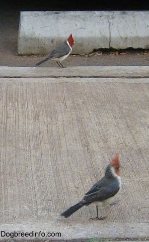 Two Red-crested Cardinal walking on parallel paths down a sidewalk