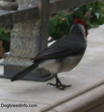 Red-Crested Cardinal standing on a window sill looking into the distance