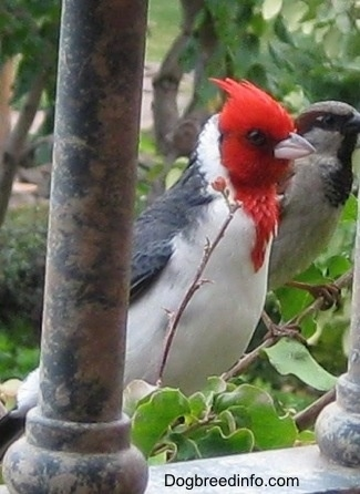 Red-Crested Cardinal standing outside next to a porch