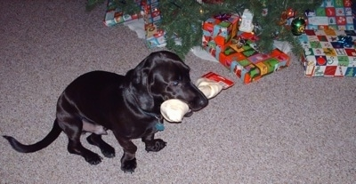 The front right side of a black Bassador that is sitting near a christmas tree and it has a rawhide dog bone in its mouth