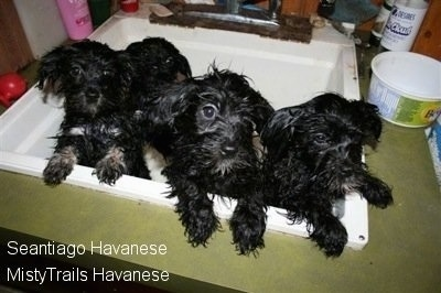 Four little wet black with white Havanese puppies are jumped up against the side of a sink looking out.