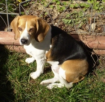 Beagle dog in sitting position