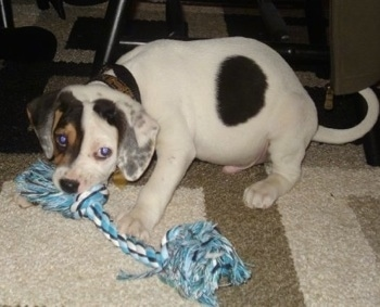 Side view - A white with black and tan mix puppy is sitting on a rug and it is biting the end of a blue, black and white rope toy.