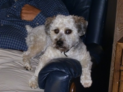 Boulee the Bichon Yorkie sitting against the arm of a chair and in the lap of a person