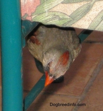 Female Northern Cardinal standing under a chair