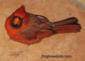 Close Up - Male Northern Cardinal