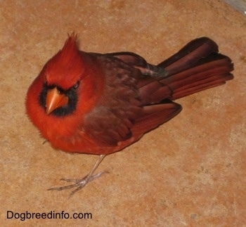 Close Up - Male Northern Cardinal standing on carpet