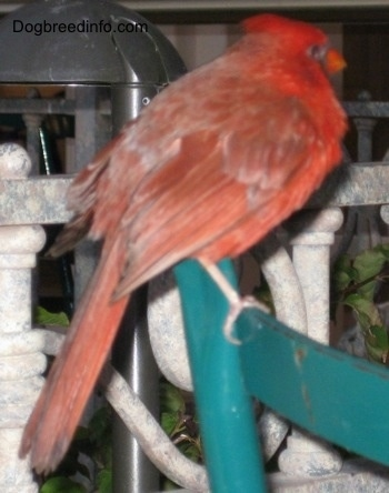 Close Up - Male Northern Cardinal standing on the back of a chair
