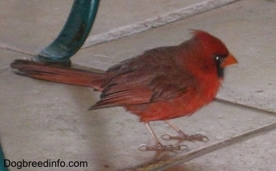 Cardinal standing on tile under a chair