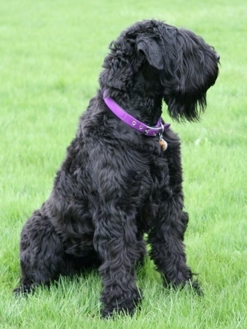 Black Russian Terrier Dog Breed Information And Pictures