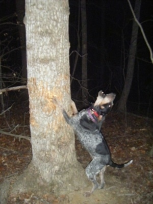 Lazy Daisy the Bluetick Coonhound jumping up against a tree barking at something up in the tree