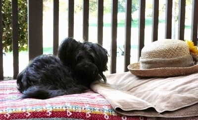 A small breed black Russian Tsvetnaya Bolonka dog is laying on a bed and it is looking forward. There is a pillow with a womean's straw hat that has a yellow flower on it on it to the right of the dog.