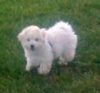 The front left side of a white Bolonoodle puppy that is standing outside in a yard and it is looking forward.