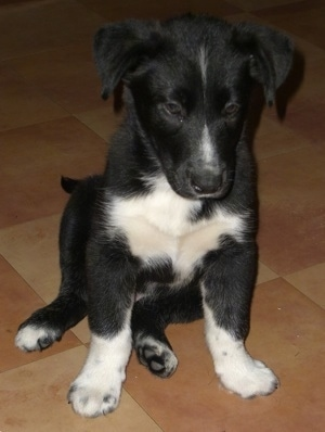Onyx, the Border Collie / Black Lab mix as a puppy