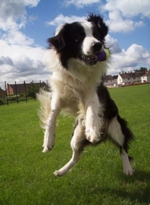 Barney the Border Collie is jumping up in the air to catch a tennis ball