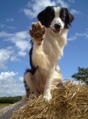Barney the Border Collie sitting on a stack of hay with its front right paw in the air