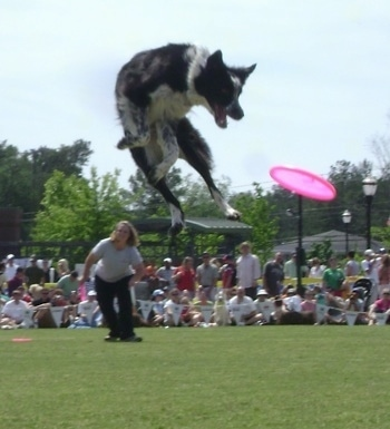 Laura Moretz throwing a frisbee to her dog, a jumping, Ariel Riot the Border Collie is high up in the air focused on the airborne frisbee