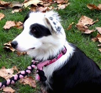 Close Up - Kaiya the Border Collie wearing a  pink and black collar and  leash looking to the right and sitting outside