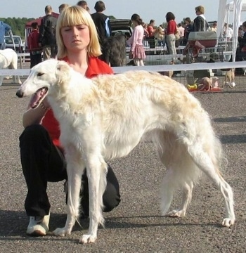 BEZCENNAJA greitoji strele the Borzoi at 1 year old from Lithuania. Owner: H.Kuncevic