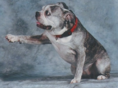 Valentine the graying brown brindle and white English Boston-Bulldog is wearing a red collar and sitting on a backdrop. Vals left paw is extended forward. Its mouth is open and tongue is slightly out