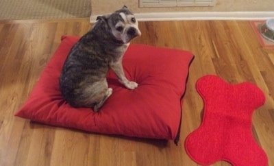 Valentine the graying brown brindle and white English Boston-Bulldog is sitting on a red pillow in front of a red dog bone rug