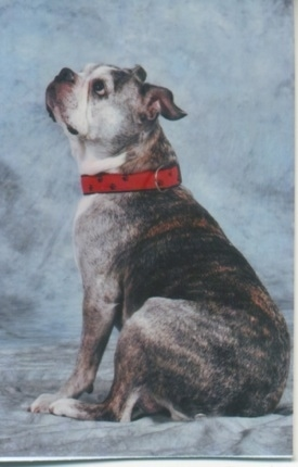 Valentine the graying brown brindle and white English Boston-Bulldog is wearing a red collar with black paws on it sitting against a backdrop and her head is up