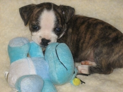 She-ra the Boston Huahua puppy at 7 weeks old (Boston Terrier / Chihuahua Hybrid)