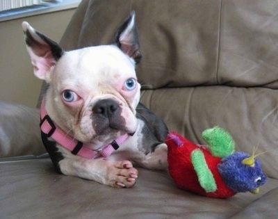 Amelia the Boston Terrier laying on a leather couch next to a colorful plush toy