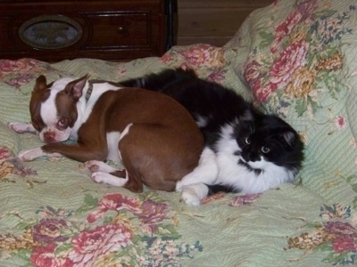 Daisy the Boston Terrier laying on a bed with a black and white long haired cat named Sylvester