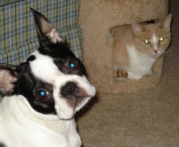 Maya the Boston Terrier sitting next to a couch and looking bat at the camera holder next to Kiko the cat who is peering out of the inside of a scratching post