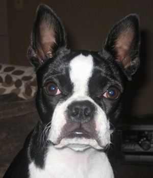 Close Up head shot - Sheeba the Boston Terrier looking at the camera holder